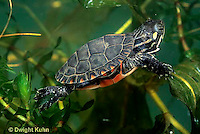 1R13-108z  Painted Turtle - young in pond swimming underwater  - Chrysemys picta