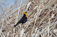 This Yellow-headed Blackbird sings his song perched by the waters of Gull Lake Alberta...