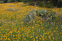 Meadow of spring Coreopsis and prickly pear cactus