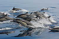 qc71224-D. Common Dolphins (Delphinus delphis). California, USA, Pacific Ocean. .Photo Copyright © Brandon Cole. All rights reserved worldwide.  www.brandoncole.com..This photo is NOT free. It is NOT in the public domain. This photo is a Copyrighted Work, registered with the US Copyright Office. .Rights to reproduction of photograph granted only upon payment in full of agreed upon licensing fee. Any use of this photo prior to such payment is an infringement of copyright and punishable by fines up to  $150,000 USD...Brandon Cole.MARINE PHOTOGRAPHY.http://www.brandoncole.com.email: brandoncole@msn.com.4917 N. Boeing Rd..Spokane Valley, WA  99206  USA.tel: 509-535-3489