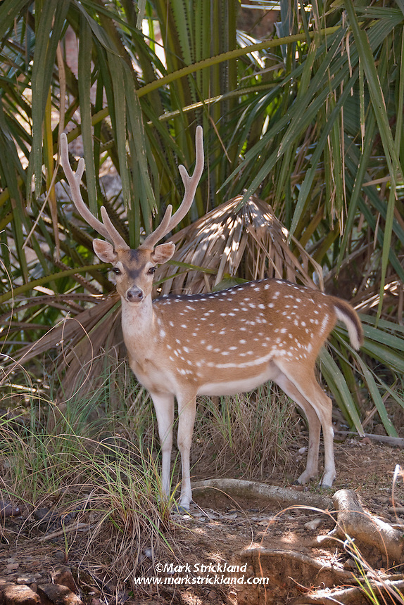 Spotted deer were introduced to the Andaman Islands by the British in the early 1900's. With no natural predators, the deer have thrived, and are now plentiful on most of the islands. Ross Island, Andaman Islands, India