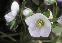 Helleborus hybridus Ushba white flowers hellebore