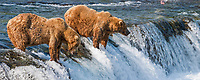 Brown bear fishing for red salmon at the falls of the Brooks  river, Katmai National Park, southwest, Alaska.