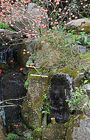 Edgeworthia chrysantha (Paper Bush) growing by a stream near the entrance to the gardens at Hosen-in Temple, near Kyoto