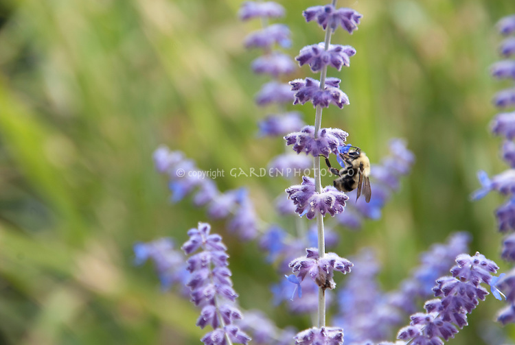 Russian sage Perovskia atriplicifolia in summer purple blue bloom flower with bee pollinator, Bombus bumblebee