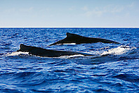 Humpback Whales, Megaptera novaeangliae, Hawaii, Pacific Ocean.