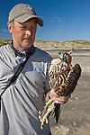 Mark Prostor, biologist, working on the Padre Island Peregrine Falcon Survey about to remove the hood from young peregrine after banding the bird.