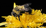 Bumble bee feeding on flower Apidae Apinae