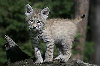 Bobcat kitten walking across the top of a log - CA