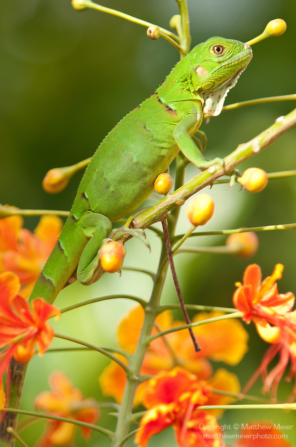 Bonaire, Netherlands Antilles; a juvenile Green Iguana (Iguana iguana) in the branches of a Flamboyant Tree with orange flowers , Copyright © Matthew Meier, matthewmeierphoto.com All Rights Reserved