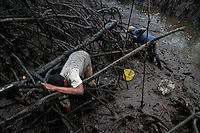 Colombian men pick shellfish from the mud among the tree roots in the mangrove swamps on the Pacific coast, Colombia, 12 June 2010. Deep in the impenetrable labyrinth of mangrove swamps on the Pacific seashore, hundreds of people struggle everyday, searching and gathering a tiny shellfish called 'piangua'. Wading through sticky mud among the mangrove tree roots, facing the clouds of mosquitos, they pick up mussels hidden deep in mud, no matter of unbearable tropical heat or strong rain. Although the shellfish pickers, mostly Afro-Colombians displaced by the Colombian armed conflict, take a high risk (malaria, poisonous bites,...), their salary is very low and keeps them living in extreme poverty.