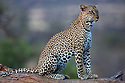 Kenya, Samburu, leopard sitting on fallen tree trunk