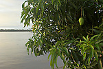 The Marowijne River, Suriname.  Unripened mango overhanging the river.