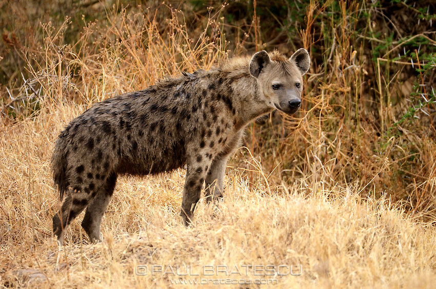Spotted Hyena (Crocuta crocuta), also known as the laughing hyena. Ngorongoro Tanzania Africa