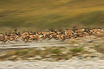 Startled by the sudden appearence of a grey wolf, a caribou herd instinictively reacts, Arctic National Wildlife Refuge, Alaska, USA.
