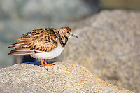 A Ruddy Turnstone trying to stay warm on the jetty at Oregon Inlet.