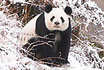 Giant Panda, Ailuropoda melanoleuca, sitting in snowy landscape, Wolong Research and Conservation Centre, Sichuan (Szechwan) Province Central China, can handle bamboo with great dexterity with extended sesamoid bone in wrist which acts like false thumb, reserve, breeding centre, captive, captivity, asia, asian, black, white, chinese, fur, furry, bears, pandas, patterns, omnivores, snow.China....