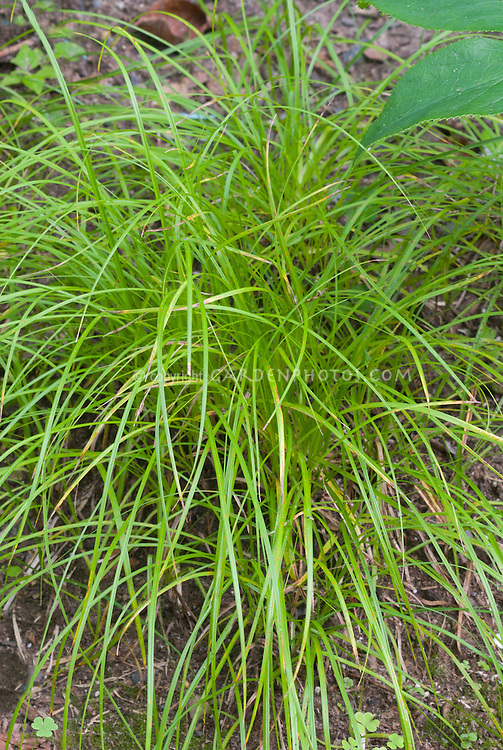 Carex pensylvanica pennsylvania sedge plant flower for Short growing ornamental grasses