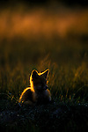 Fox in late evening sunlight