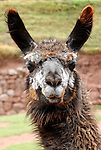 Americas, South America, Peru. Llama face from the Awana Kancha breeding center in the urubamba Valley, Peru.