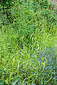 Milium effusum 'Aureum', late May. A semi-evergreen perennial grass forming loose clumps of arching, soft yellow leaves, with nodding panicles of yellow flowers in early summer. Growing here with Forget-me-nots (Myosotis arvensis).