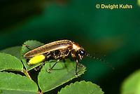 1C24-566p   Firefly Adult - Lightning Bug - Photuris spp.