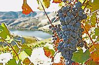 grape bunch quinta do seixo sandeman douro portugal