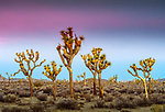 Joshua trees at sunrise in Mojave Desert, Joshua Tree National Park, California