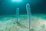 Sea pen (Virgularia sp.) in the sandy bottom.