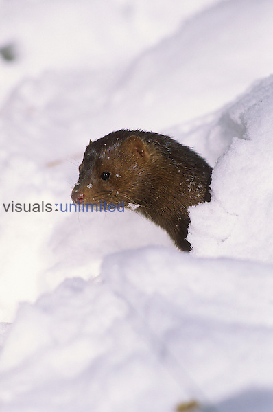 Mink emerging from its den through a recent snow (Mustela vision), North America.