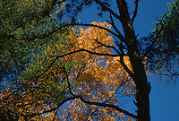 pine trees and oak trees during the fall season