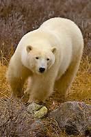 A polar bear walking on the tundra along Hudson Bay, near Churchill, Manitoba, Canada