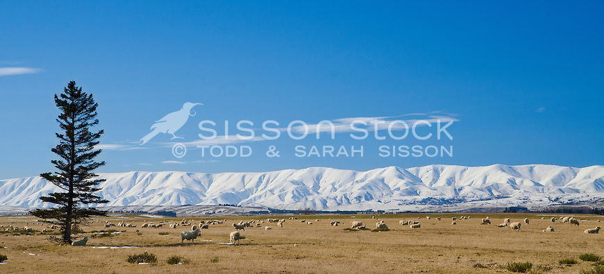 Sheep graze in front of snow covered Hawkdun Ranges, near Omakau, winter, Central Otago, South Island, New Zealand - stock photo, canvas, fine art print