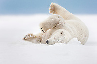 Polar bear rolls in the snow on an island in the Beaufort Sea on Alaska