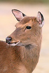 Sika deer portrait, Assateague National Wildlife Refuge, Virginia, USA