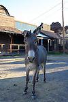 Donkey in Oatman