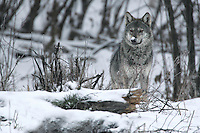 Wild Carpathian Wolf (Canis lupus) photographed in Bieszczady Mountains. Poland
