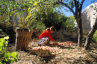Goreme, Cappadocia, Nevsehir, Turkey. A Woman picks apples in her garden.  Although toursim is upcoming, many people still live of their traditional livelyhood. they work the fields in the fairy chimney landscape of Cappadocia and the Goreme National Park. Photo by Frits Meyst / MeystPhoto.com