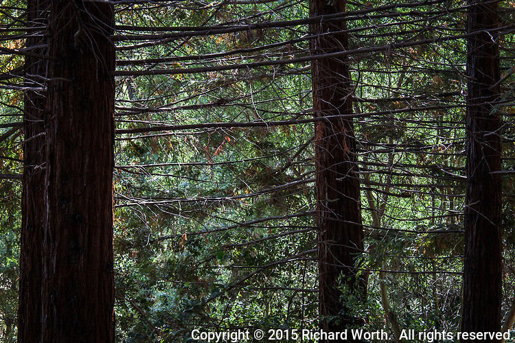 Under the canopy of redwood trees, the lower, bare branches crisscross in a latice-like maze against a vivid green sunlit background.