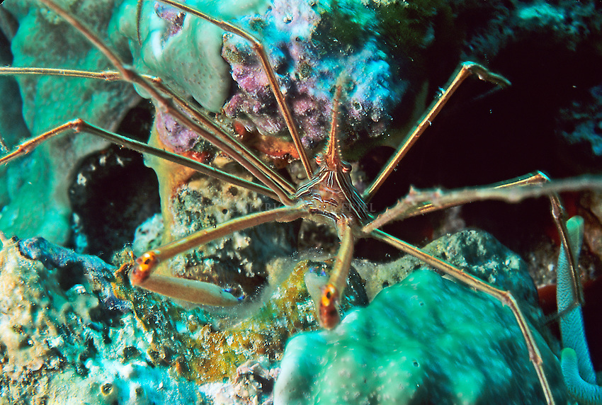 Arrow crab on coral reef in the Bahamas Out Islands