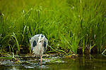A great blue heron walks through the marshy pond.