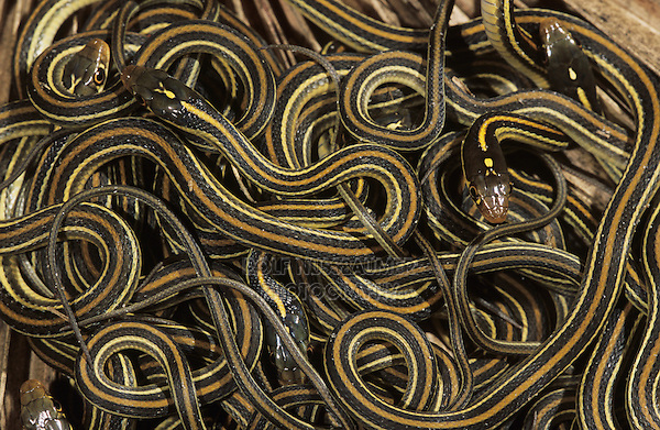 Gulf Coast Ribbon Snake, Thamnophis proximus orarius, clutch of newborn young, Willacy County, Rio Grande Valley, Texas, USA