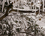 Blowing snow gradually builds a coat of snow and ice on a magnolia tree during the blizzard of 2010 in Rehoboth Beach, Delaware, USA.