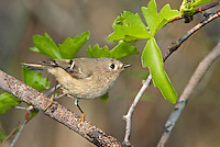 554800024 a wild ruby-crowned kinglet songbird  regulus calendula perches on a branch at estero llano in the rio grande valley south texas united states