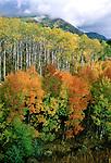 Aspens a blaze in fall color, Elk Mountains of Colorado