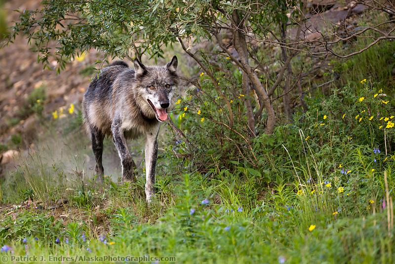 Male Gray wolf, Denali National Park, interior, Alaska.