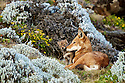Please credit Rebecca R Jackrel | www.RebeccaJackrel.com | www.ethiopianwolfproject.com