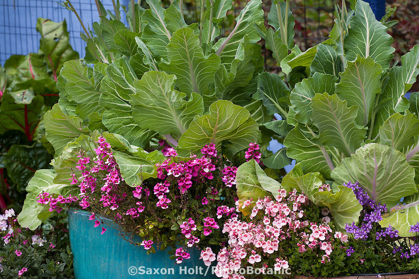 Leafy vegetable, Portuguese kale with trailing Diascia flowers in container in Rosalind Creasy garden.