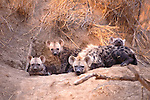 Spotted hyena and babies