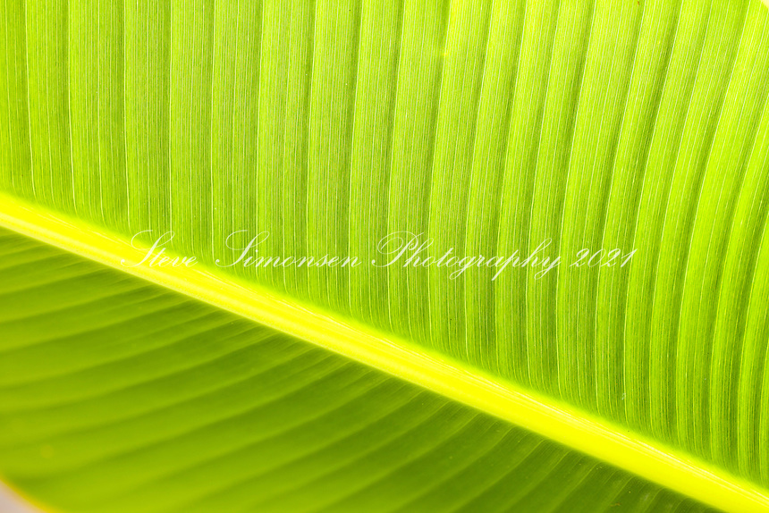 Banana Tree Leaf detail<br />